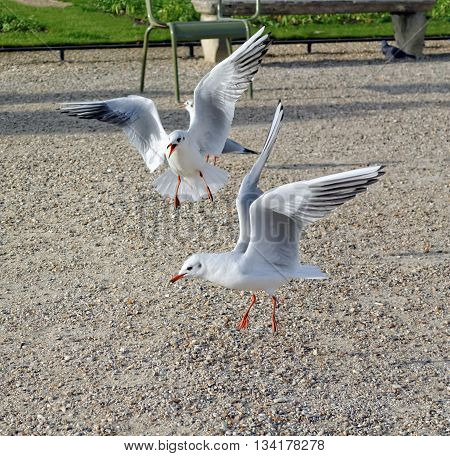Seagulls fighting over food in the park.