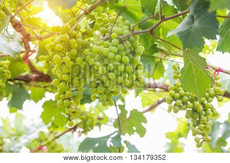 green grapes on the branch green grapes on vine.