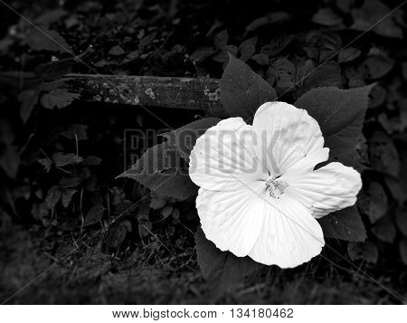 Big, White, Lonely Flower in a Backyard