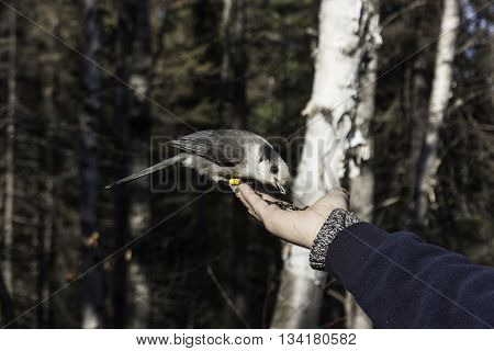 A grey jay eating seeds from a persons hand