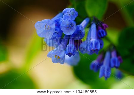 Blue bell flowers in early spring time