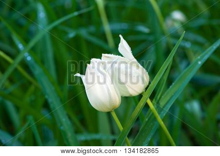 White tulips with dew outdoors