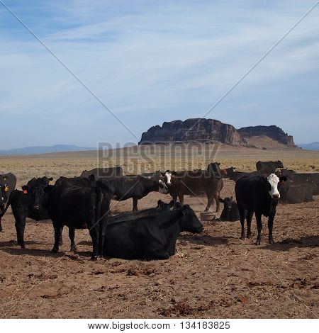 Grazing cattle at a ranch outside of Ft. Rock in Eastern Oregon.