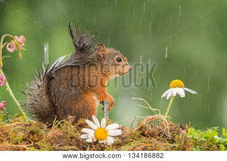 red squirrel standing with flowers in the rain