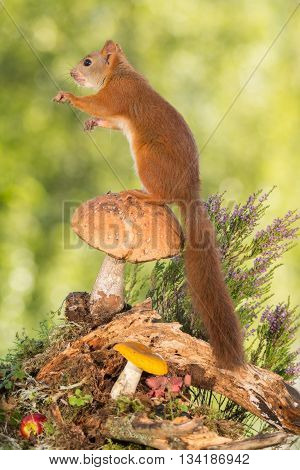 red squirrel is standing on mushroom and trunk