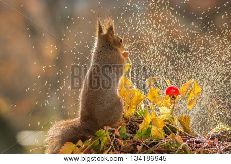red squirrel is watching water standing with brier