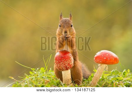 red squirrel is standing behind mushroom looking in lens