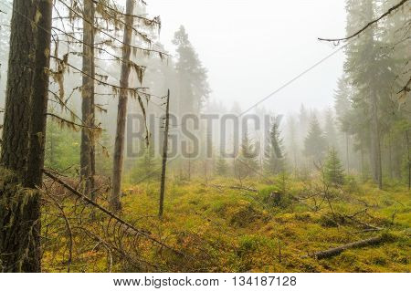 forest in autumn with mist and trees
