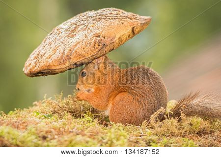 red squirrel is standing with and under mushroom