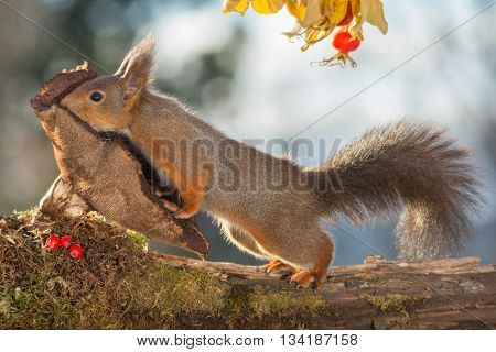red squirrel is standing on mushroom with brier above