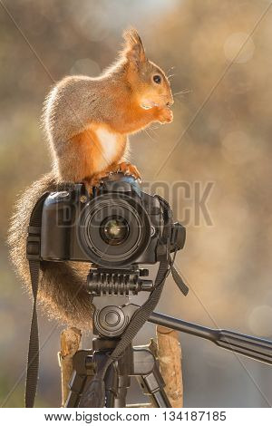 profile of red squirrel is standing on camera