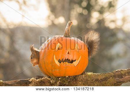 red squirrel standing in a pumpkin head