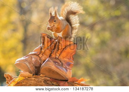 red squirrel standing with shoes and mouse in it