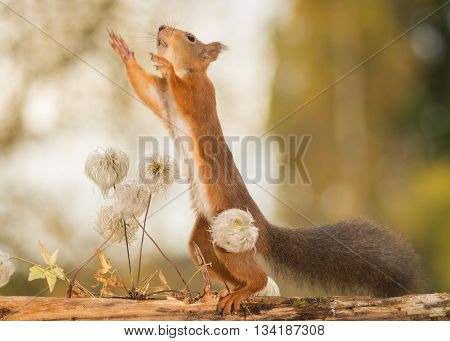 red squirrel standing on branch with flower seeds reaching