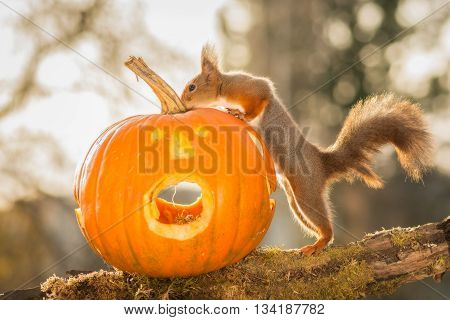 red squirrel standing on a tree trunk with a pumpkin head