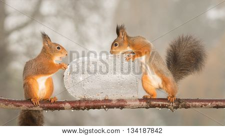 red squirrels standing on branch with wet bottle