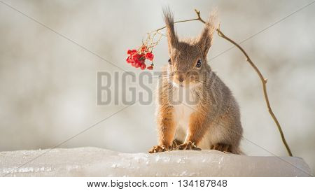 squirrel standing on ice under branch with rowan berries