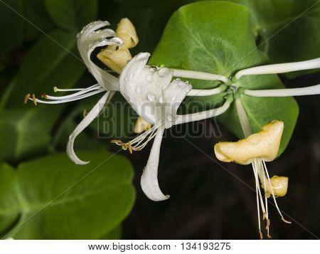 Italium Woodbine or Goat-leaf Honeysuckle Lonicera caprifolium flowers with raindrops macro selective focus shallow DOF