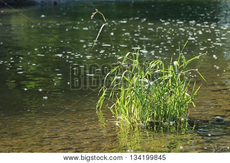 tussock of green grass growing in the shallow water in the river