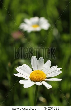 white bloom of daisy wheel and other one blurred at the background