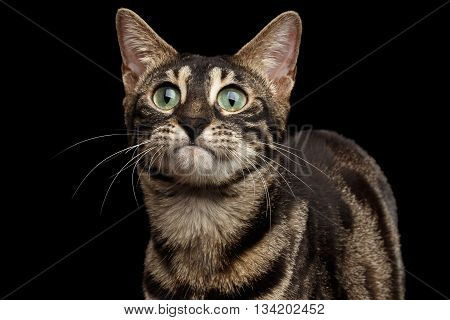Closeup Portrait of Funny Bengal Cat Face with Green eyes isolated on Black Background