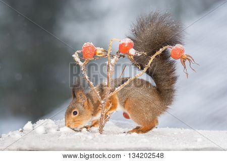 red squirrel standing in snow with brier