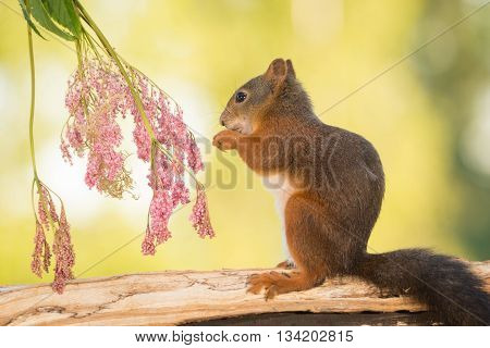 red squirrel is standing with flowers on trunk