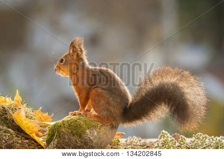 red squirrel with moss and leaves looking away