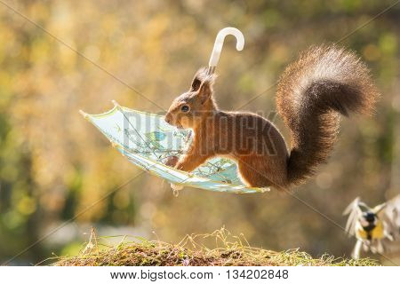 red squirrel sitting on umbrella i the air