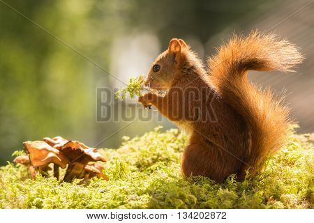 red squirrel standing with mushrooms on moss