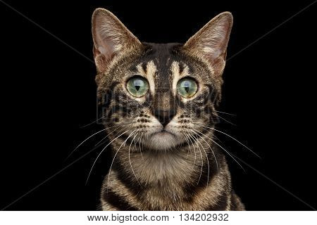 Closeup Portrait of Bengal Cat with Dark Fur and Green eyes isolated on Black Background