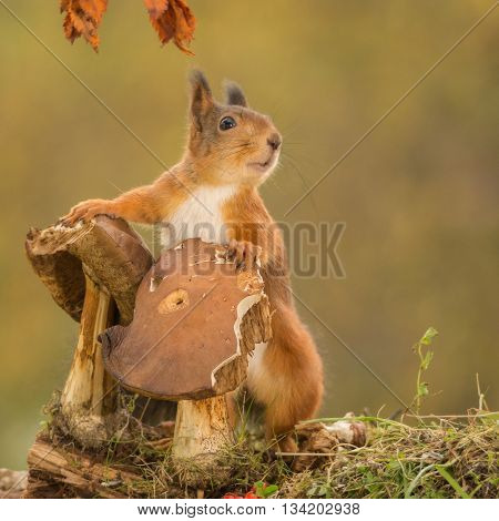 red squirrel standing with mushrooms on trunk