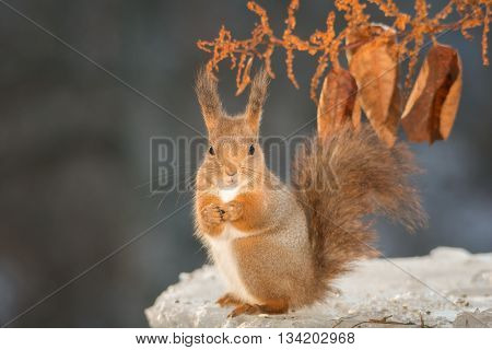 red squirrel standing on ice looking at the lens