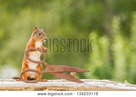 red squirrel is holding scissors with nut