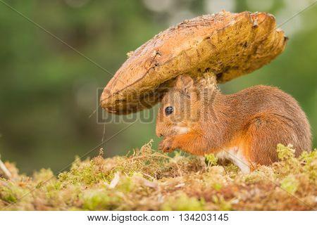 red squirrel on moss standing under mushroom