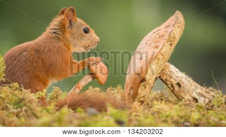 red squirrel holding a mushroom and moss