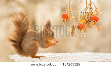 red squirrel is standing on ice with brier and present