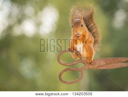 red squirrel is standing on scissors in the air