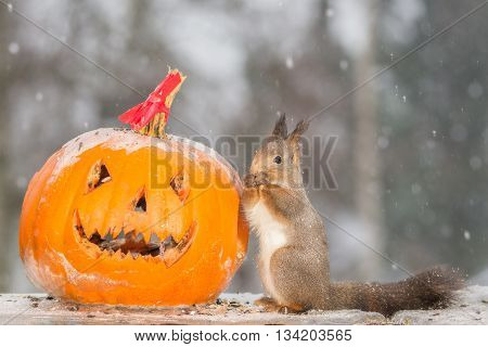 red squirrel standing in a pumpkin head