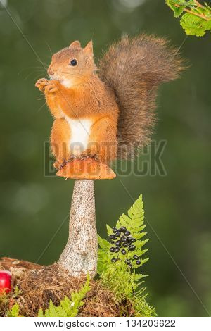 red squirrel standing on a mushroom with ferns