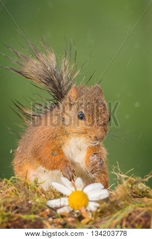 wet red squirrel standing with flowers in the rain