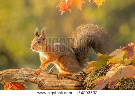 red squirrel with moss and leaves on trunk