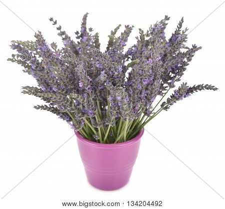 Fresh lavender on a white background close up