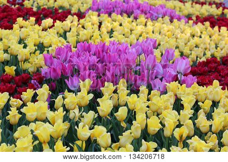 field of colorful tulips yellow red and purple