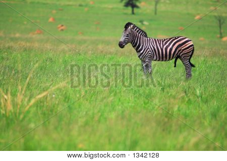 Male Zebra In A Green Field