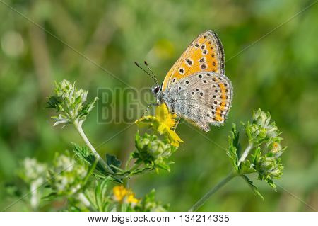 Common Blue (Polyommatus icarus) butterfly on a wild flower at summer season in Ukraine