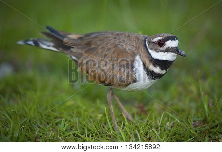 Killdeer on the grass very close to a nest in the background