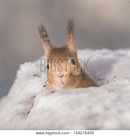 close up of red squirrel in a snow hole