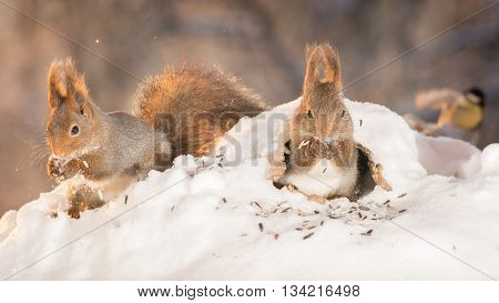 red squirrels in hole and in snow