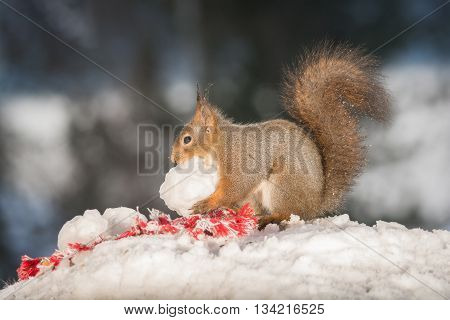 red squirrels with a snow ball in snow